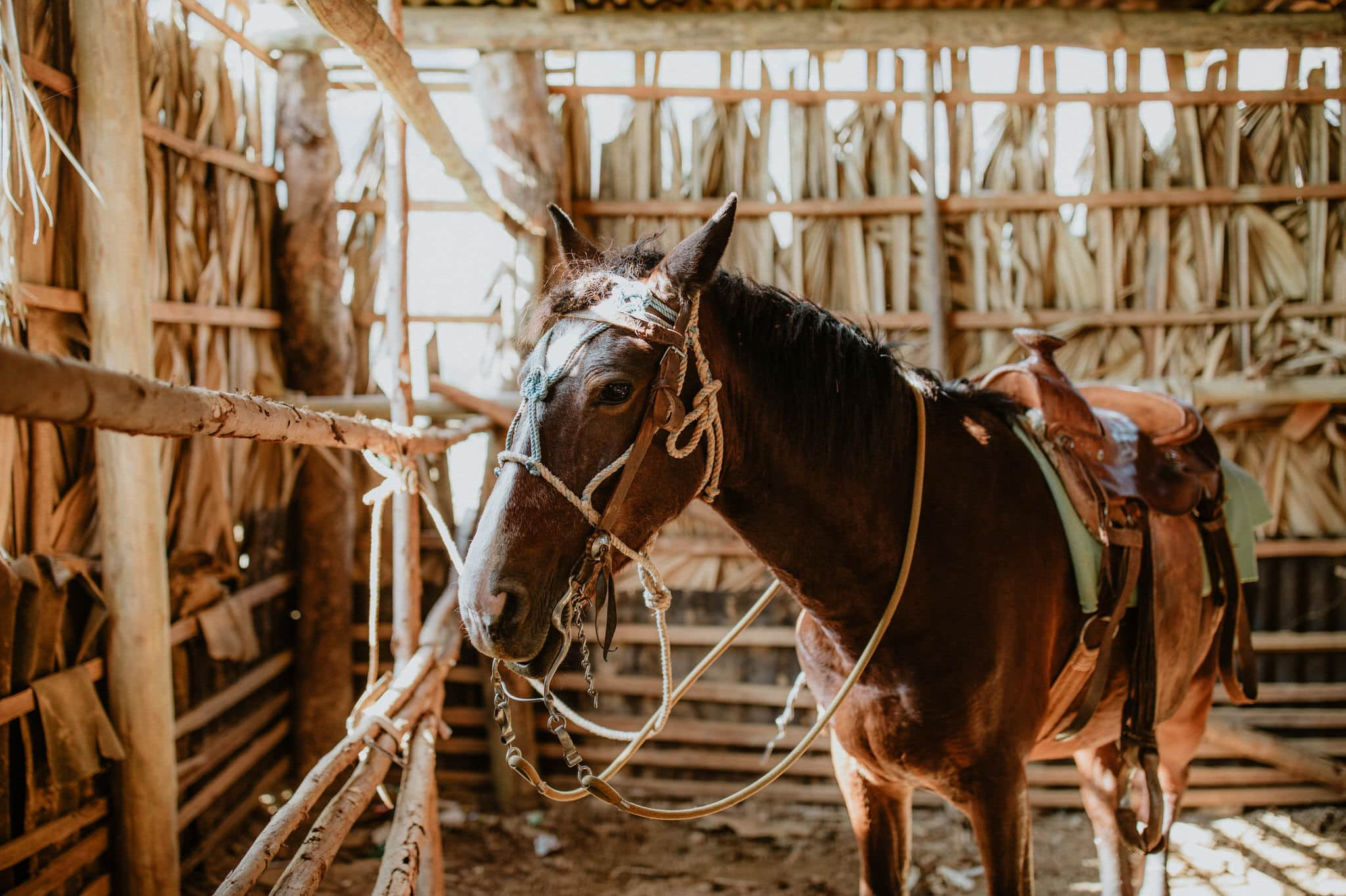 Horse in the barn on cigar farm in Vinales, Cuba. Wedding and travel photographer Brent Calis.
