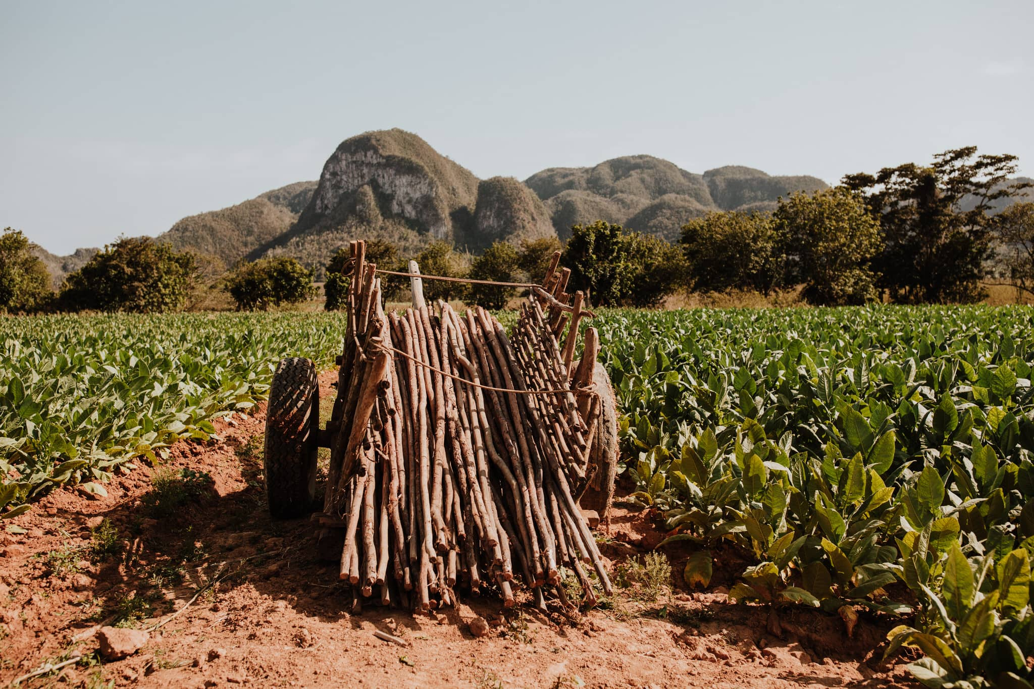 Branches are used to hang and dry fresh tobacco on a cigar farm in Vinales, Cuba. Wedding and travel photographer Brent Calis.