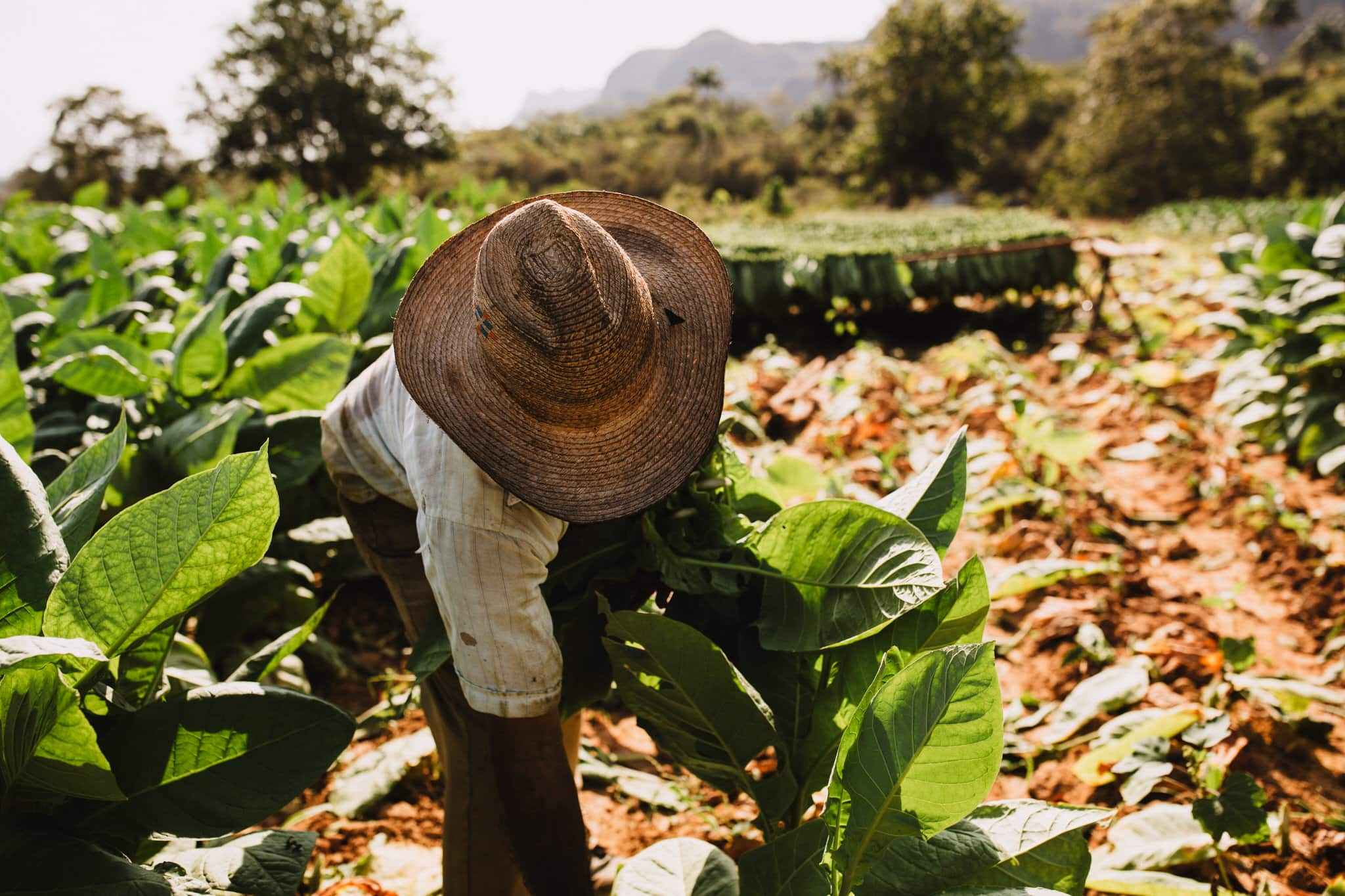 A tobacco farmer harvests fresh tobacco on cigar farm in Vinales, Cuba. Wedding and travel photographer Brent Calis.