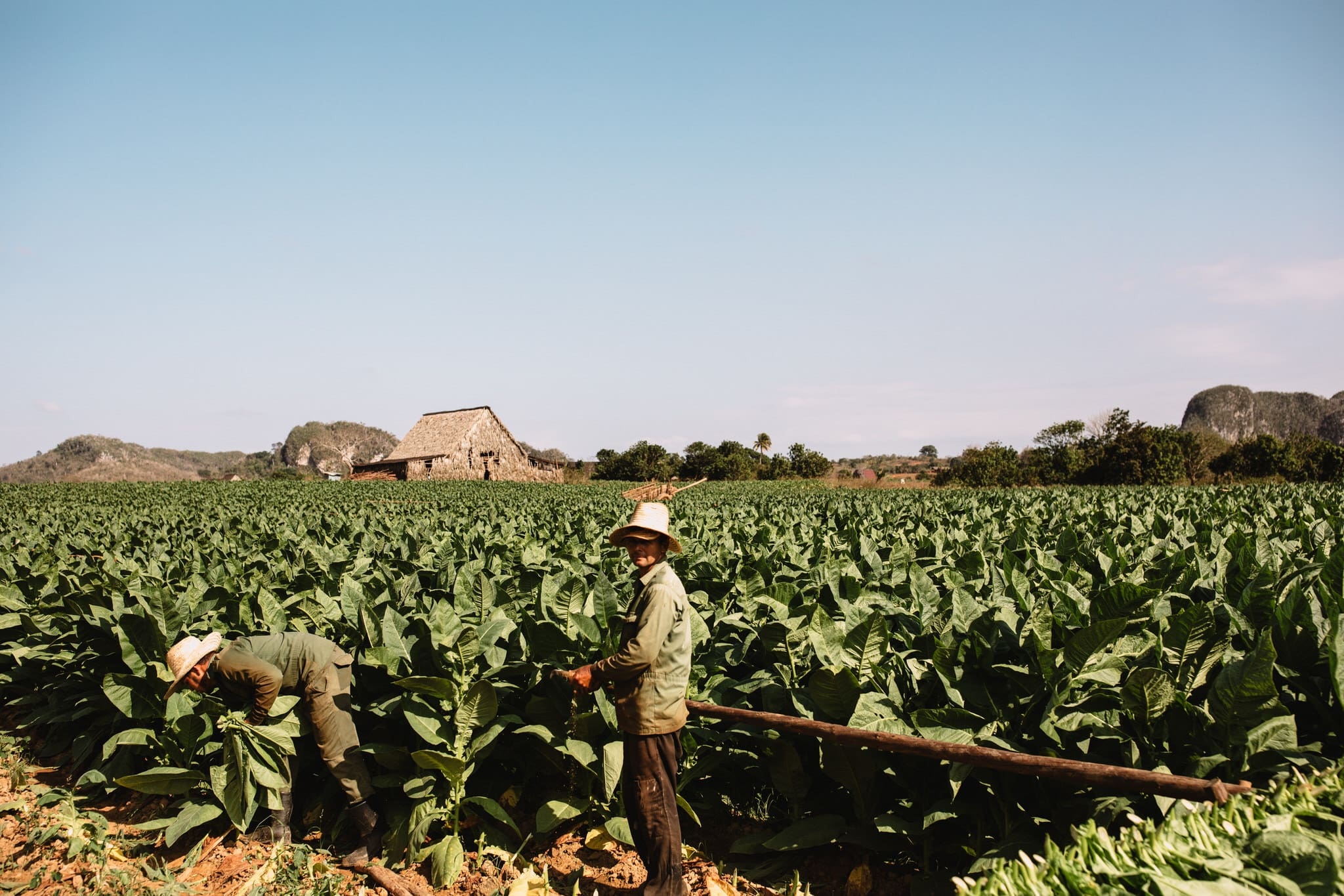 Tobacco farmers processing fresh tobacco on a Cuban cigar farm in Vinales, Cuba. Wedding and travel photographer Brent Calis.