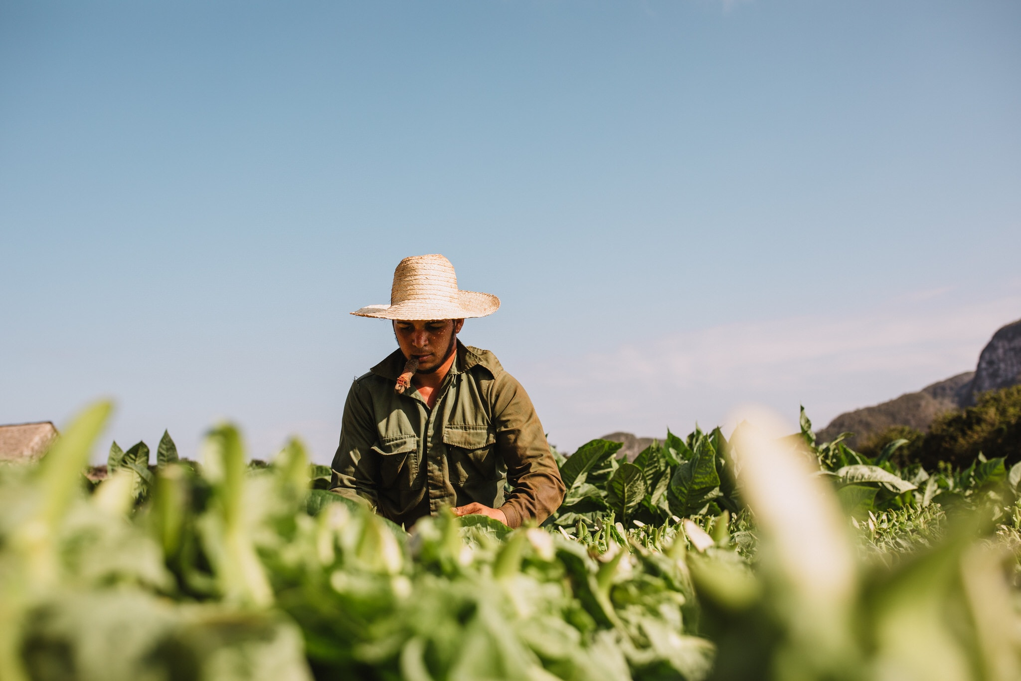 A tobacco farmer inspects crops on cigar farm in Vinales, Cuba. Wedding and travel photographer Brent Calis.