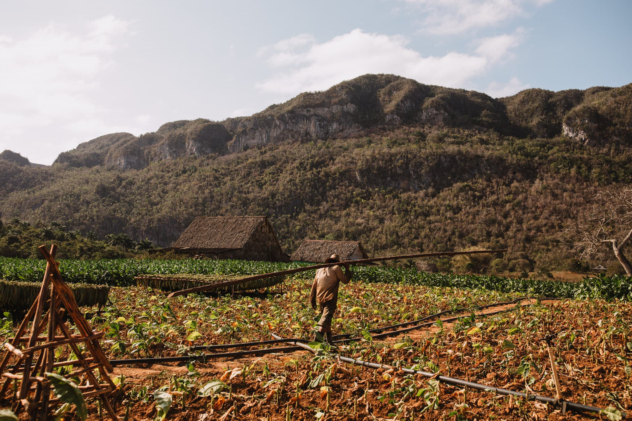 A tobacco farmer walks through the crops on cigar farm in Vinales, Cuba. Wedding and travel photographer Brent Calis.